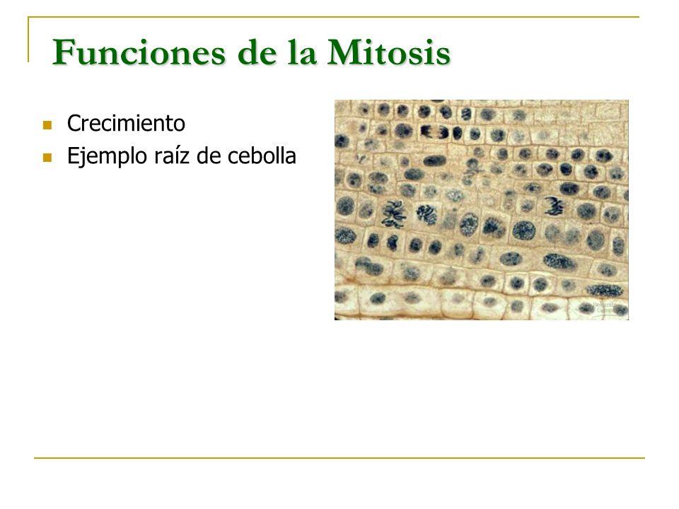 Crecimiento Ejemplo raíz de cebolla Funciones de la Mitosis Funciones de la Mitosis