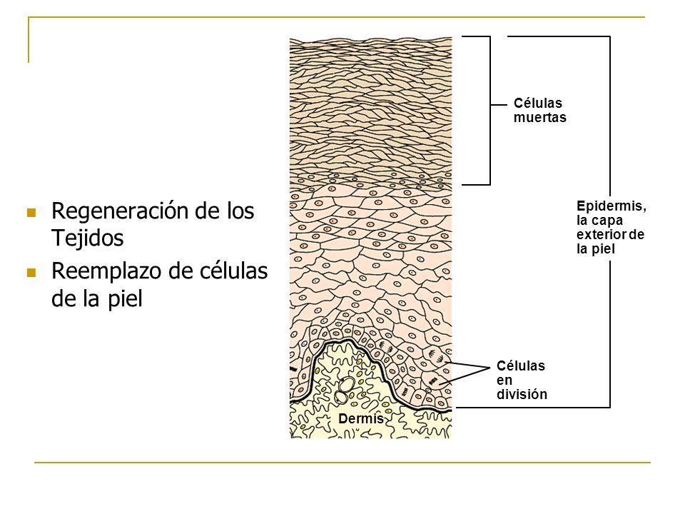 Regeneración de los Tejidos Reemplazo de células de la piel Células muertas Células en división Epidermis, la capa exterior de la piel Dermis