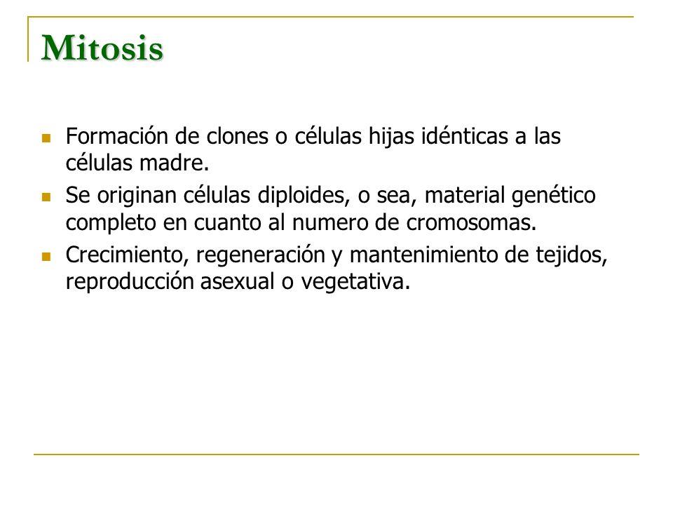 Mitosis Formación de clones o células hijas idénticas a las células madre. Se originan células diploides, o sea, material genético completo en cuanto