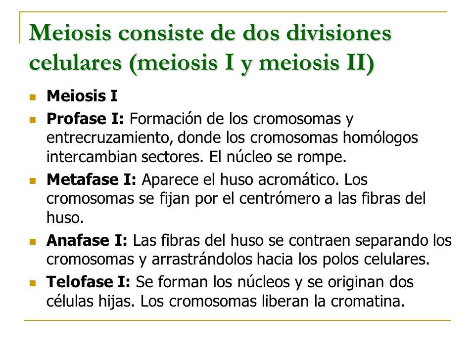 Meiosis consiste de dos divisiones celulares (meiosis I y meiosis II) Meiosis I Profase I: Formación de los cromosomas y entrecruzamiento, donde los c