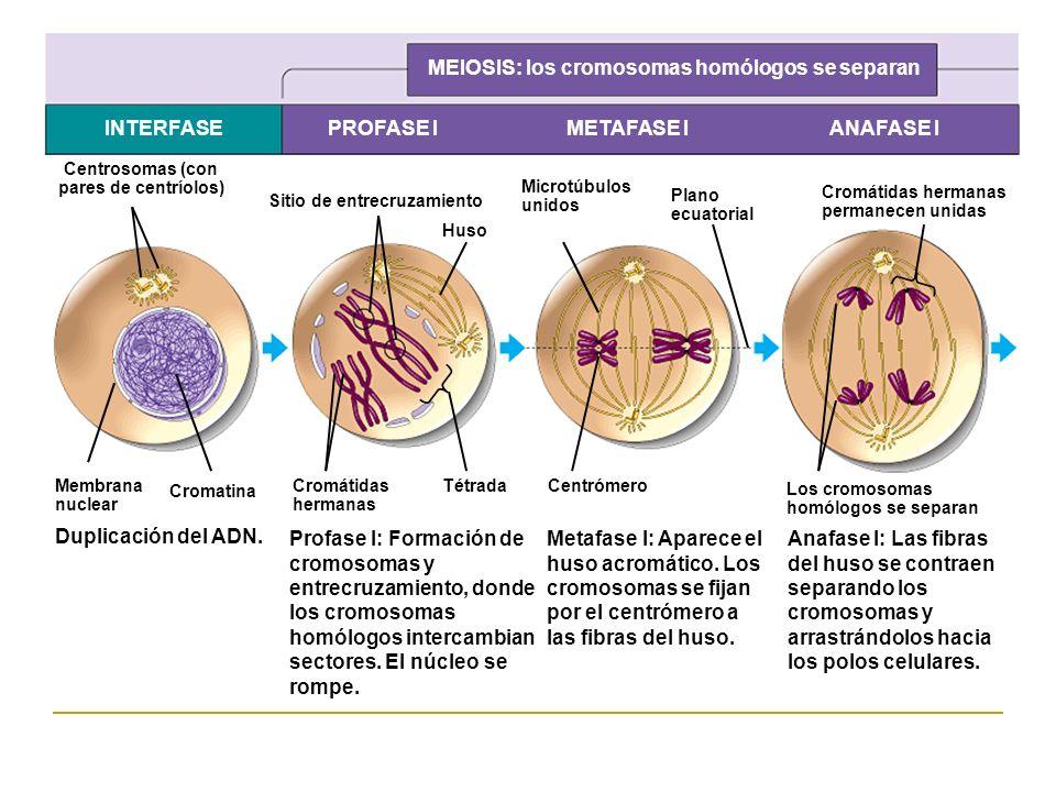 MEIOSIS: los cromosomas homólogos se separan INTERFASEPROFASE IMETAFASE IANAFASE I Centrosomas (con pares de centríolos) Membrana nuclear Cromatina Si