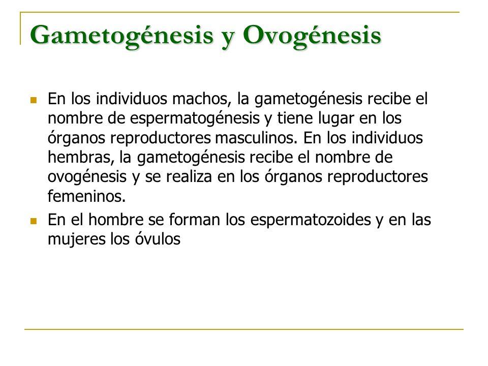 Gametogénesis y Ovogénesis En los individuos machos, la gametogénesis recibe el nombre de espermatogénesis y tiene lugar en los órganos reproductores
