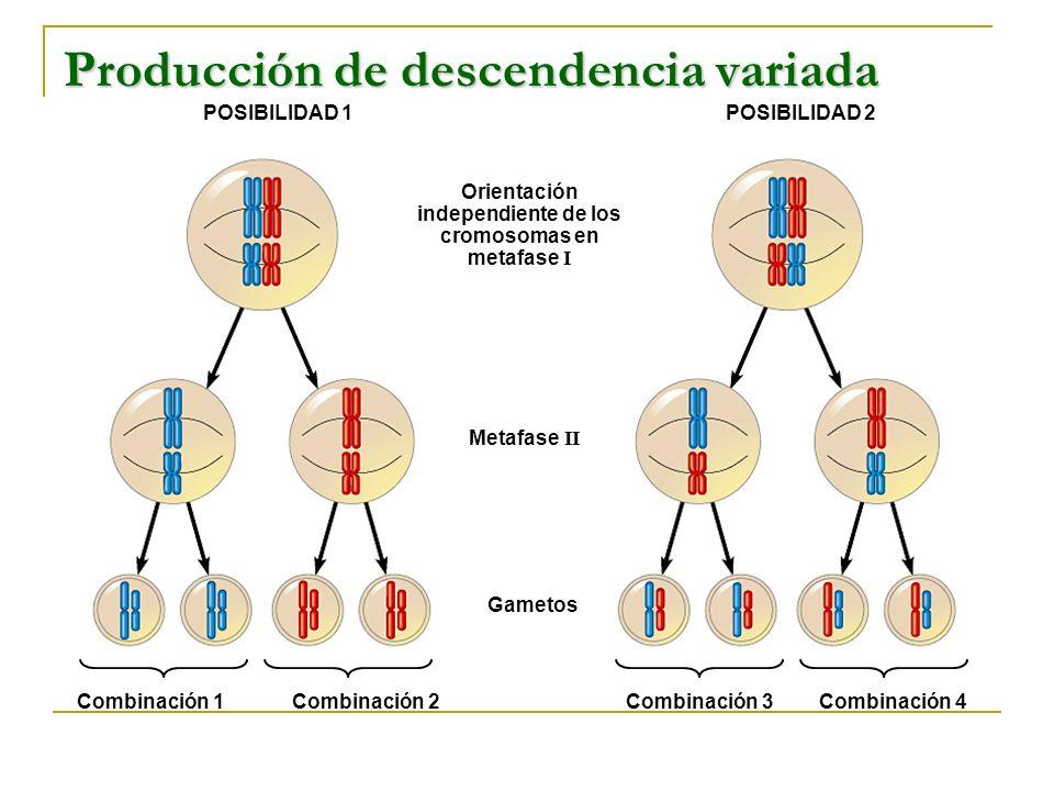 POSIBILIDAD 1POSIBILIDAD 2 Orientación independiente de los cromosomas en metafase I Metafase II Gametos Combinación 1Combinación 2Combinación 3Combin