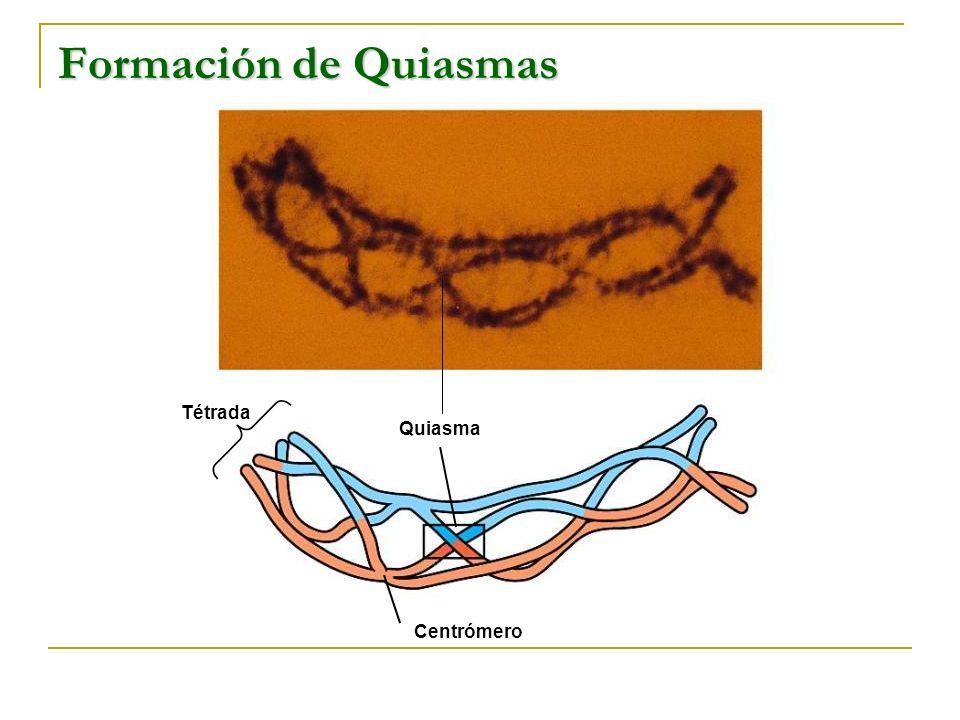 Tétrada Quiasma Centrómero Formación de Quiasmas