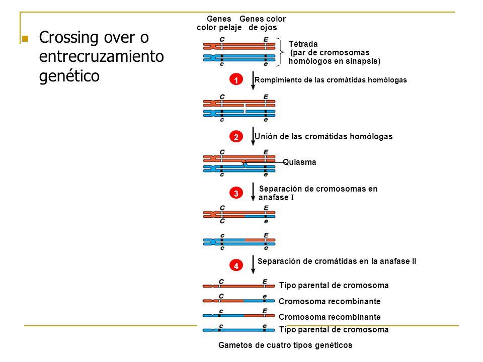 Crossing over o entrecruzamiento genético Tétrada (par de cromosomas homólogos en sinapsis) Rompimiento de las cromátidas homólogas Unión de las cromá