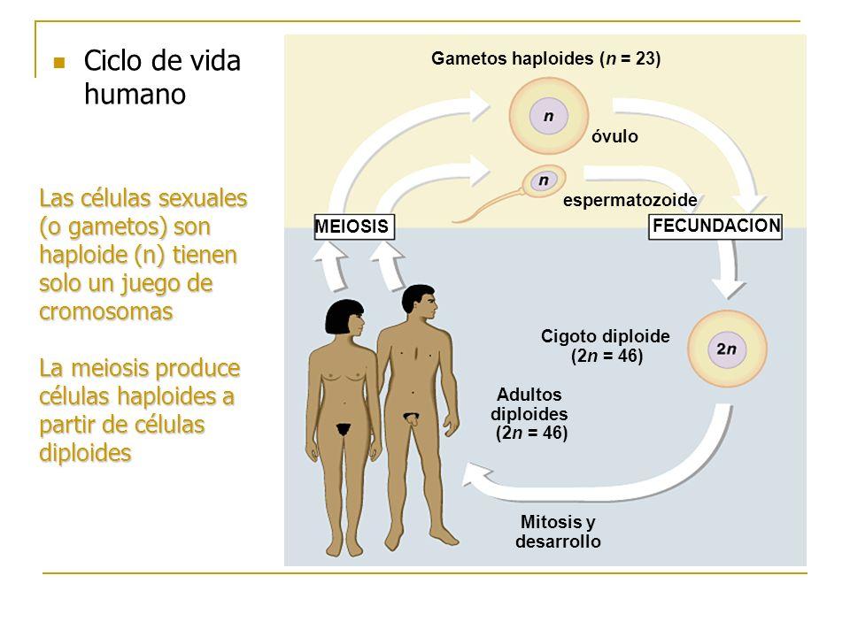 Ciclo de vida humano MEIOSIS FECUNDACION Gametos haploides (n = 23) óvulo espermatozoide Cigoto diploide (2n = 46) Adultos diploides (2n = 46) Mitosis