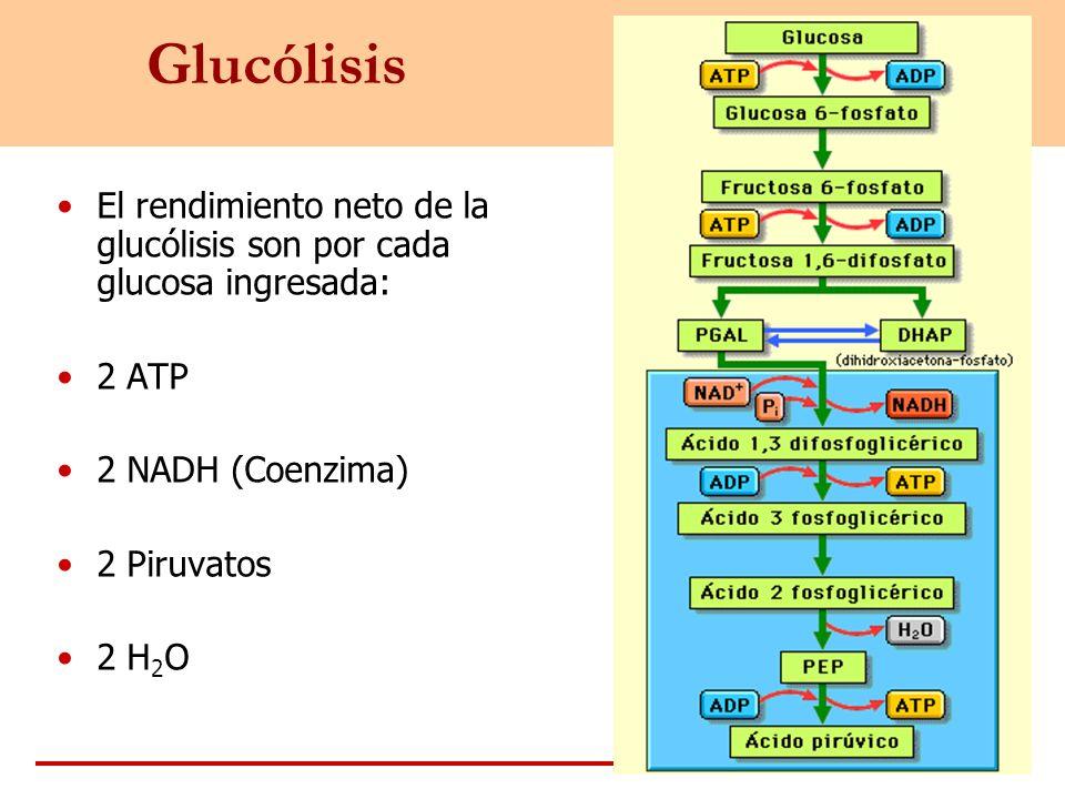 Glucólisis El rendimiento neto de la glucólisis son por cada glucosa ingresada: 2 ATP 2 NADH (Coenzima) 2 Piruvatos 2 H 2 O