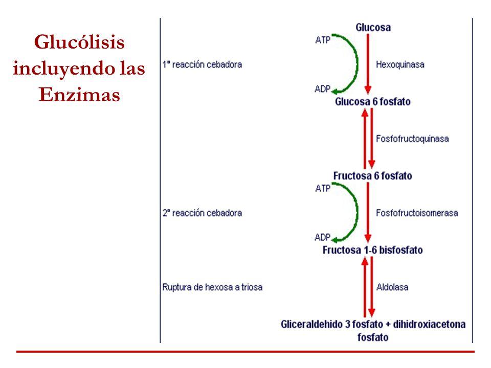 Glucólisis incluyendo las Enzimas