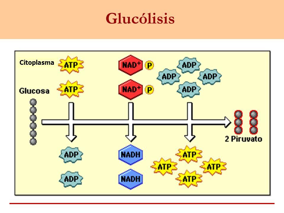 Glucólisis Citoplasma