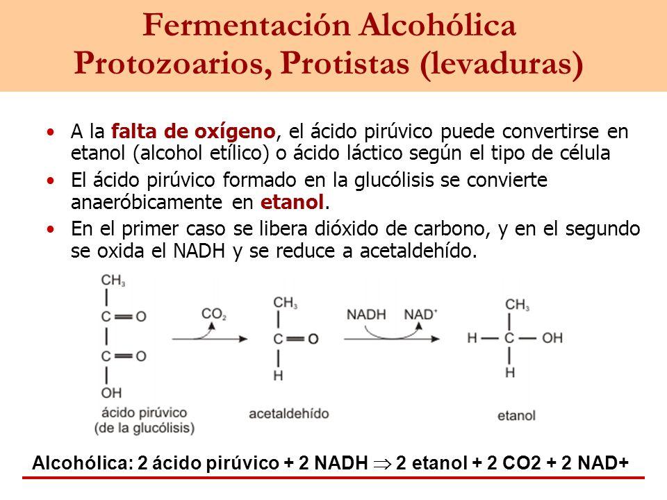 Fermentación Alcohólica Protozoarios, Protistas (levaduras) A la falta de oxígeno, el ácido pirúvico puede convertirse en etanol (alcohol etílico) o á