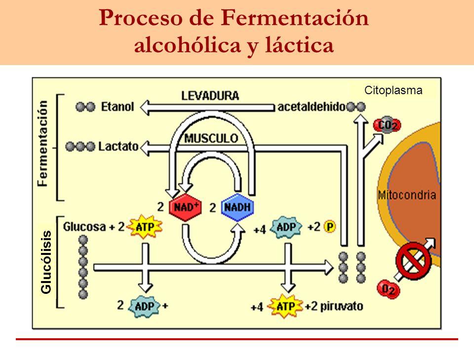 Proceso de Fermentación alcohólica y láctica Citoplasma Glucólisis