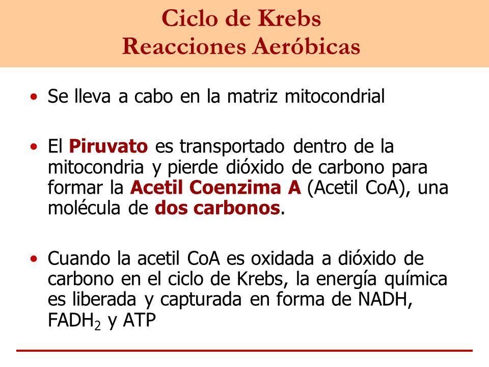 Ciclo de Krebs Reacciones Aeróbicas Se lleva a cabo en la matriz mitocondrial El Piruvato es transportado dentro de la mitocondria y pierde dióxido de