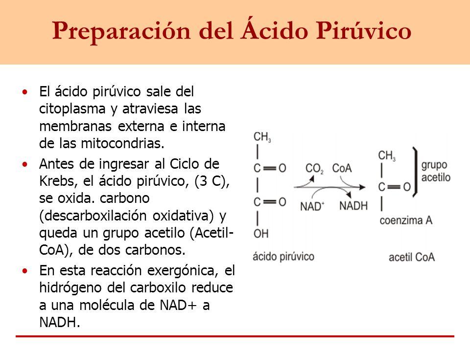 Preparación del Ácido Pirúvico El ácido pirúvico sale del citoplasma y atraviesa las membranas externa e interna de las mitocondrias. Antes de ingresa