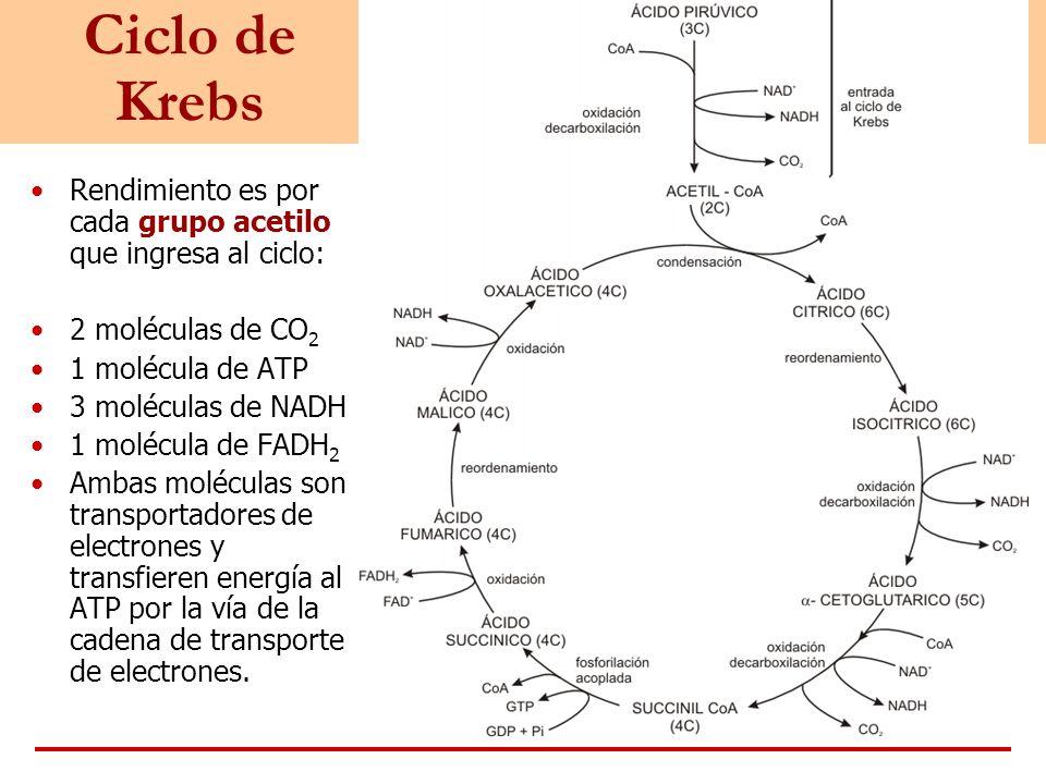 Ciclo de Krebs Rendimiento es por cada grupo acetilo que ingresa al ciclo: 2 moléculas de CO 2 1 molécula de ATP 3 moléculas de NADH 1 molécula de FAD