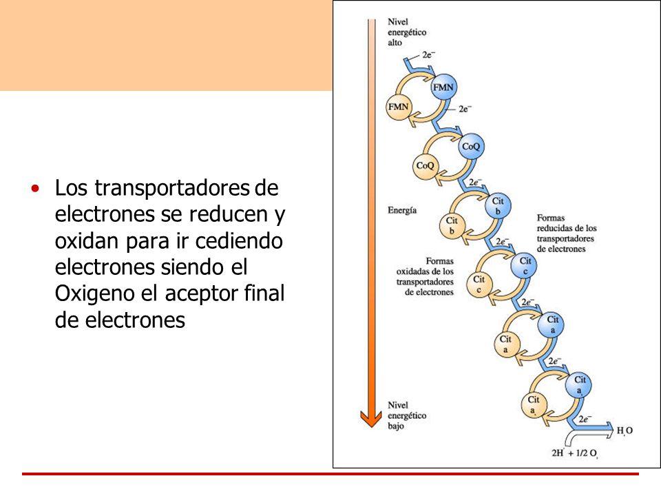 Los transportadores de electrones se reducen y oxidan para ir cediendo electrones siendo el Oxigeno el aceptor final de electrones