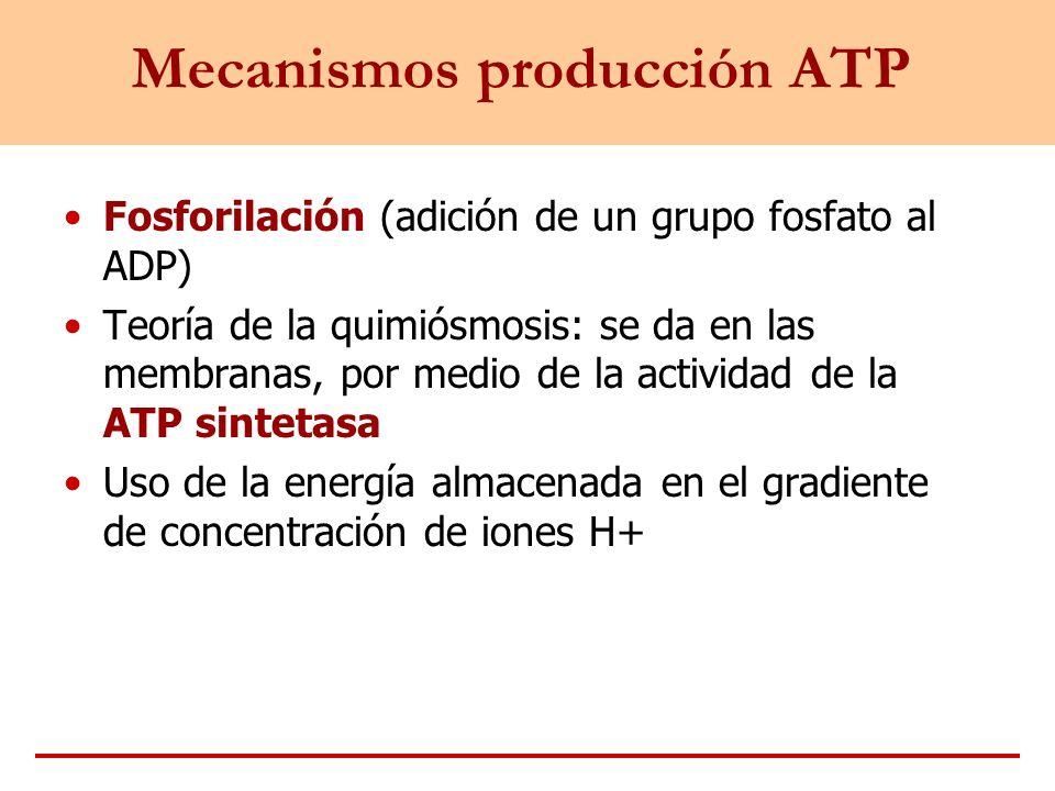 Mecanismos producción ATP Fosforilación (adición de un grupo fosfato al ADP) Teoría de la quimiósmosis: se da en las membranas, por medio de la activi