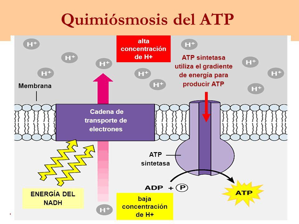alta concentración de H+ ATP sintetasa utiliza el gradiente de energía para producir ATP Membrana ENERGÍA DEL NADH baja concentración de H+ ATP sintet
