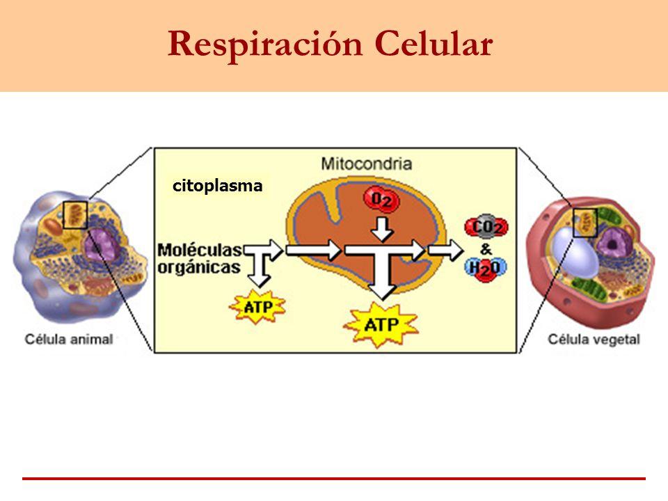 Respiración Celular citoplasma