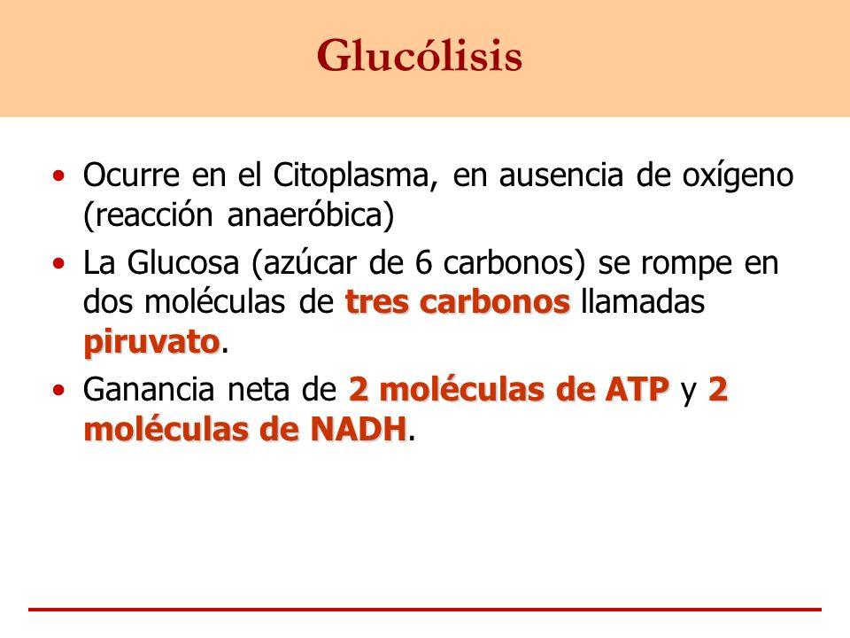 Glucólisis Ocurre en el Citoplasma, en ausencia de oxígeno (reacción anaeróbica) tres carbonos piruvatoLa Glucosa (azúcar de 6 carbonos) se rompe en d