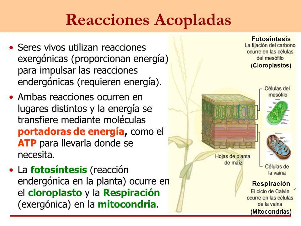 Fotosíntesis Respiración (Mitocondrias) (Cloroplastos) Reacciones Acopladas Seres vivos utilizan reacciones exergónicas (proporcionan energía) para im
