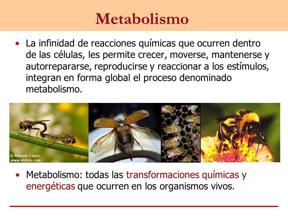 Metabolismo La infinidad de reacciones químicas que ocurren dentro de las células, les permite crecer, moverse, mantenerse y autorrepararse, reproduci