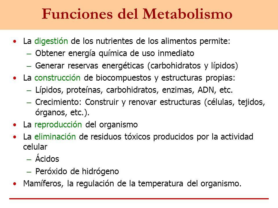 Funciones del Metabolismo La digestión de los nutrientes de los alimentos permite: – Obtener energía química de uso inmediato – Generar reservas energ