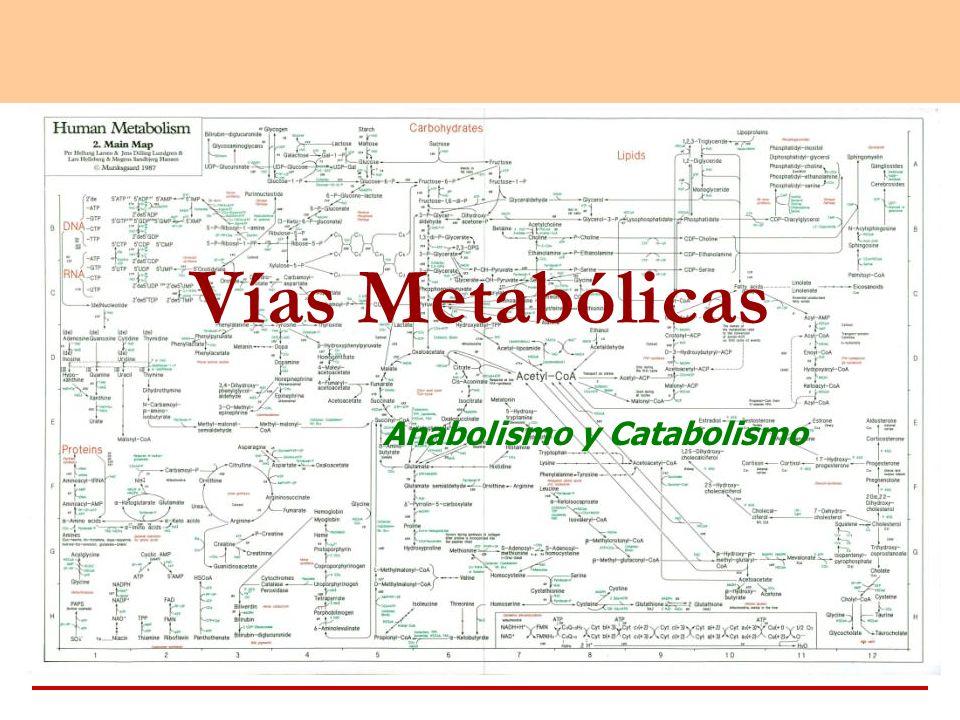 Vías Metabólicas Anabolismo y Catabolismo
