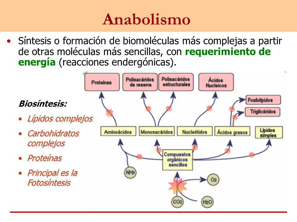 Anabolismo Síntesis o formación de biomoléculas más complejas a partir de otras moléculas más sencillas, con requerimiento de energía (reacciones ende