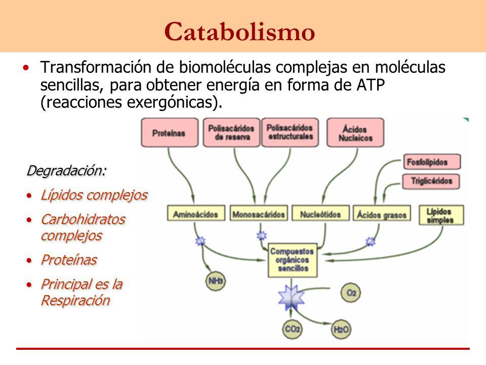 Catabolismo Transformación de biomoléculas complejas en moléculas sencillas, para obtener energía en forma de ATP (reacciones exergónicas). Degradació