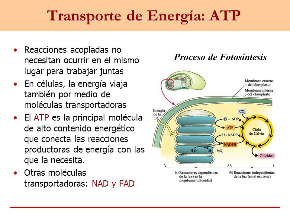 Transporte de Energía: ATP Reacciones acopladas no necesitan ocurrir en el mismo lugar para trabajar juntas En células, la energía viaja también por m