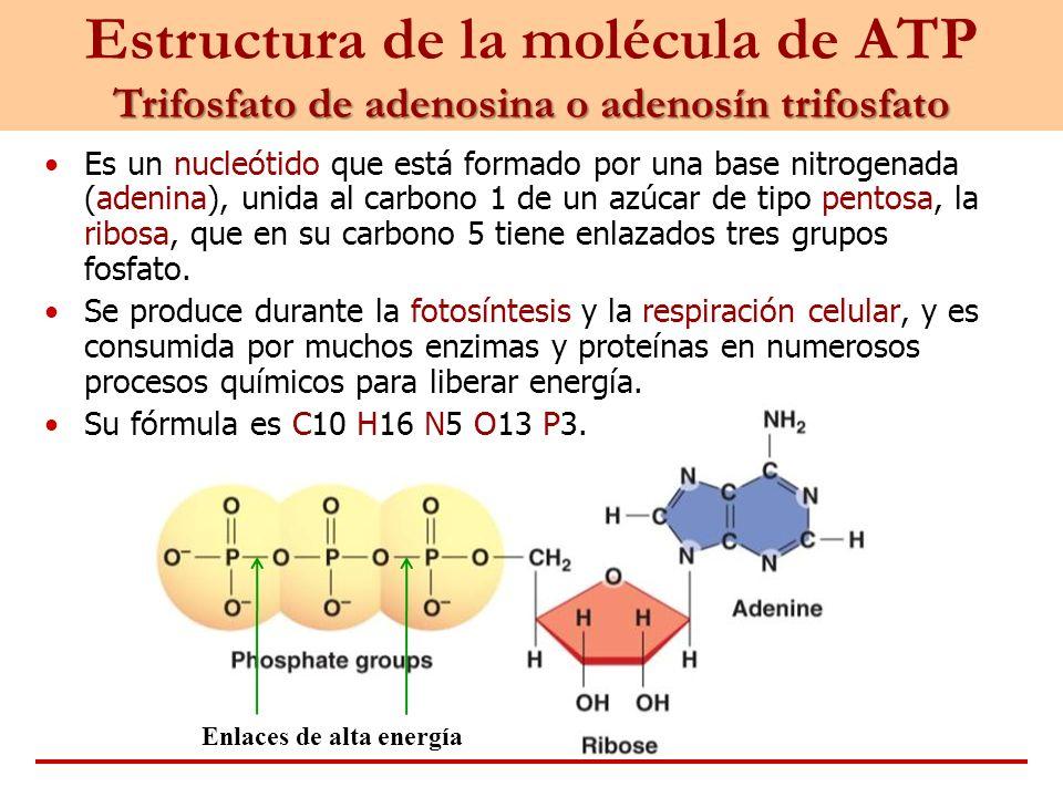 Estructura de la molécula de ATP Trifosfato de adenosina o adenosín trifosfato Es un nucleótido que está formado por una base nitrogenada (adenina), u