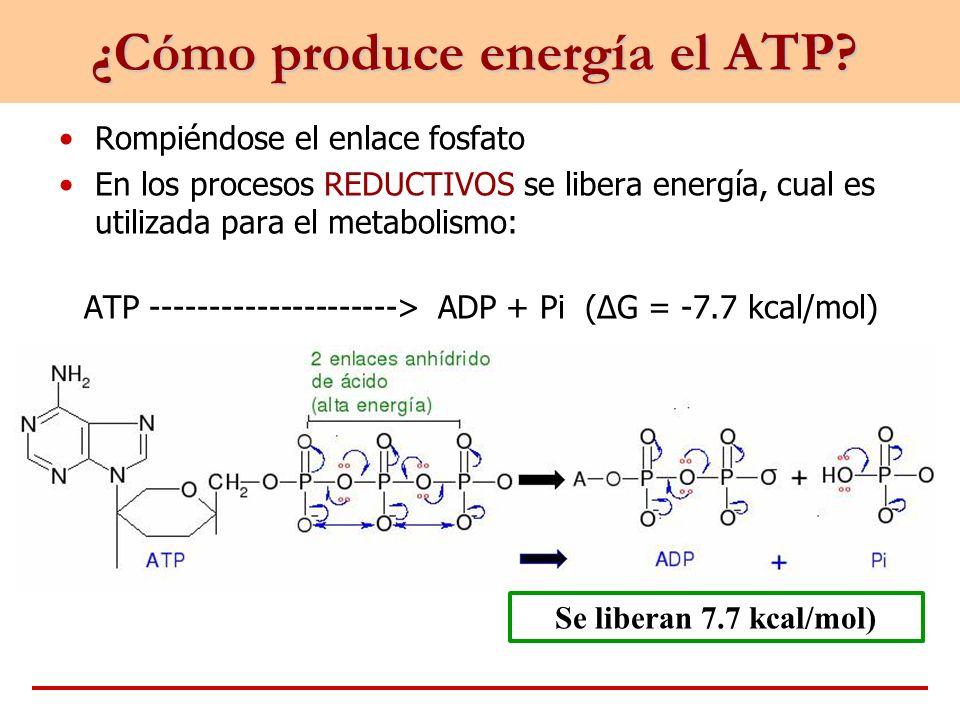 ¿Cómo produce energía el ATP? Rompiéndose el enlace fosfato En los procesos REDUCTIVOS se libera energía, cual es utilizada para el metabolismo: ATP -