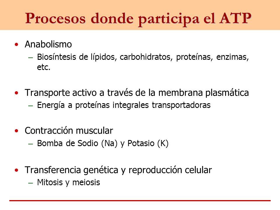 Procesos donde participa el ATP Anabolismo – Biosíntesis de lípidos, carbohidratos, proteínas, enzimas, etc. Transporte activo a través de la membrana