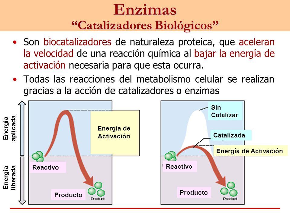 Son biocatalizadores de naturaleza proteica, que aceleran la velocidad de una reacción química al bajar la energía de activación necesaria para que es