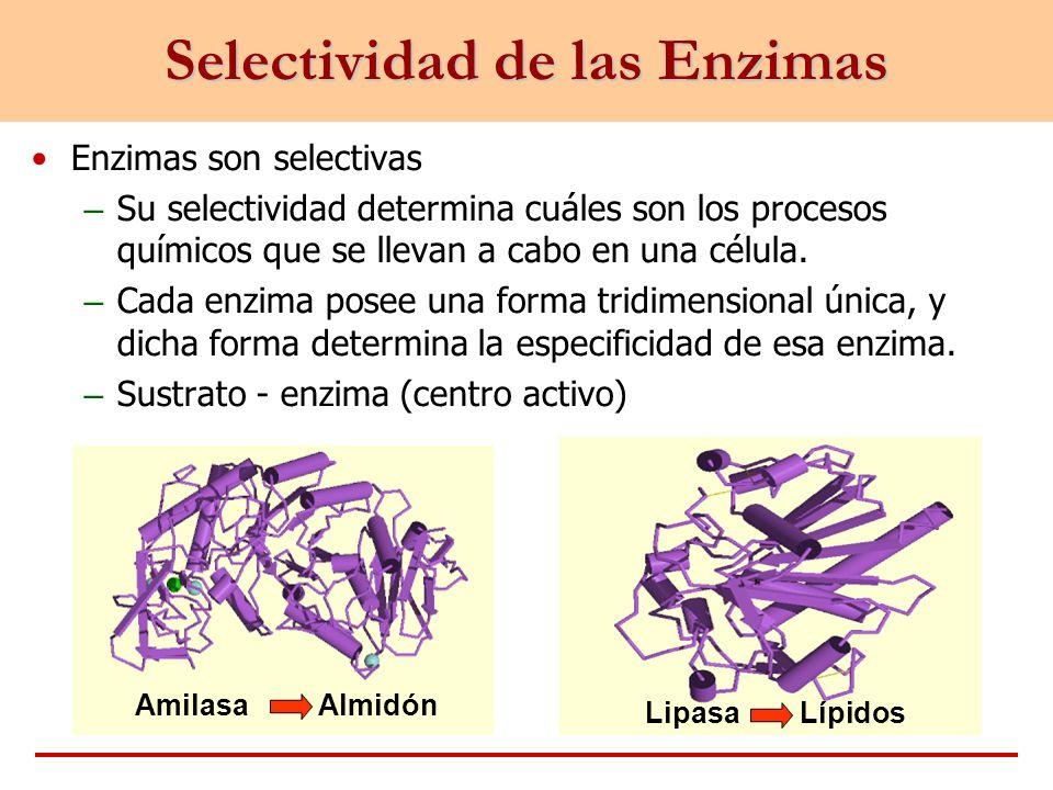 Enzimas son selectivas – Su selectividad determina cuáles son los procesos químicos que se llevan a cabo en una célula. – Cada enzima posee una forma