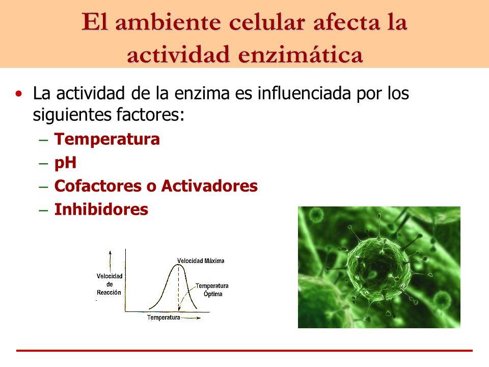 La actividad de la enzima es influenciada por los siguientes factores: – Temperatura – pH – Cofactores o Activadores – Inhibidores El ambiente celular