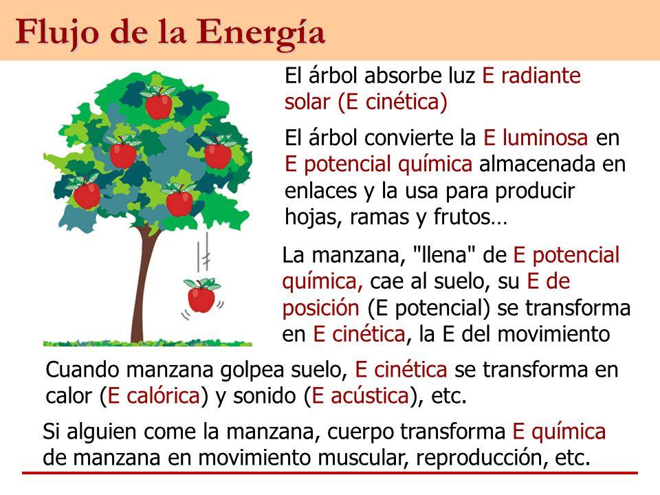 El árbol absorbe luz E radiante solar (E cinética) El árbol convierte la E luminosa en E potencial química almacenada en enlaces y la usa para produci