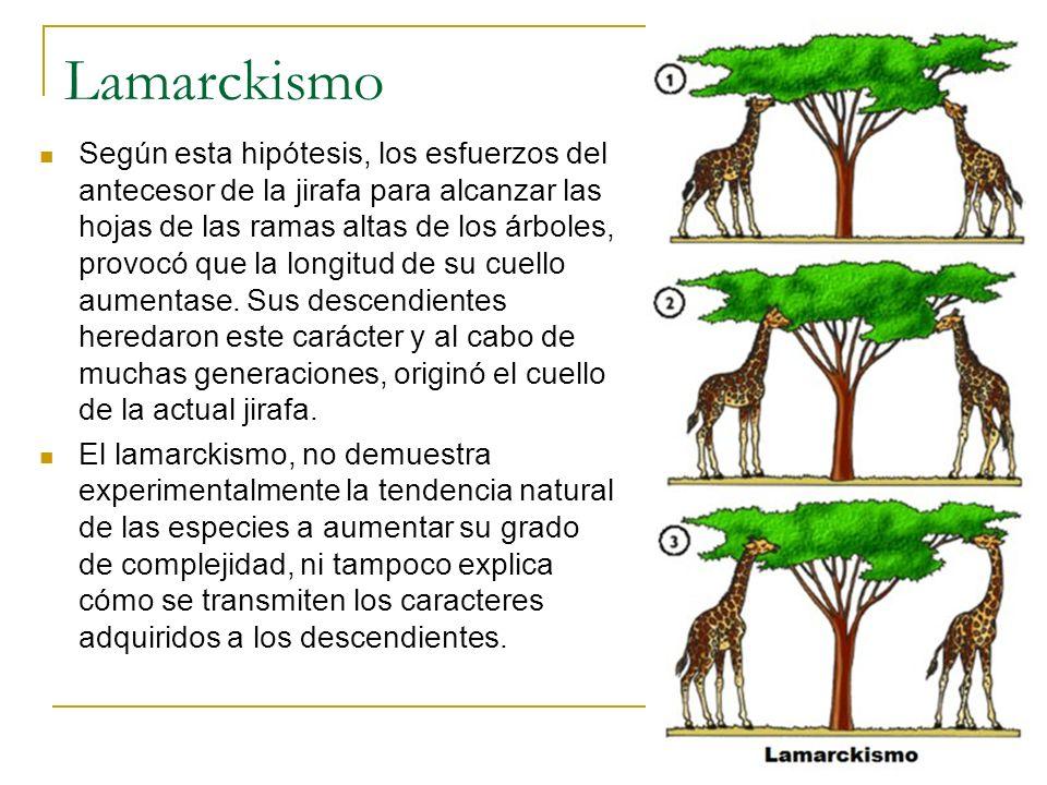 Lamarckismo Según esta hipótesis, los esfuerzos del antecesor de la jirafa para alcanzar las hojas de las ramas altas de los árboles, provocó que la l