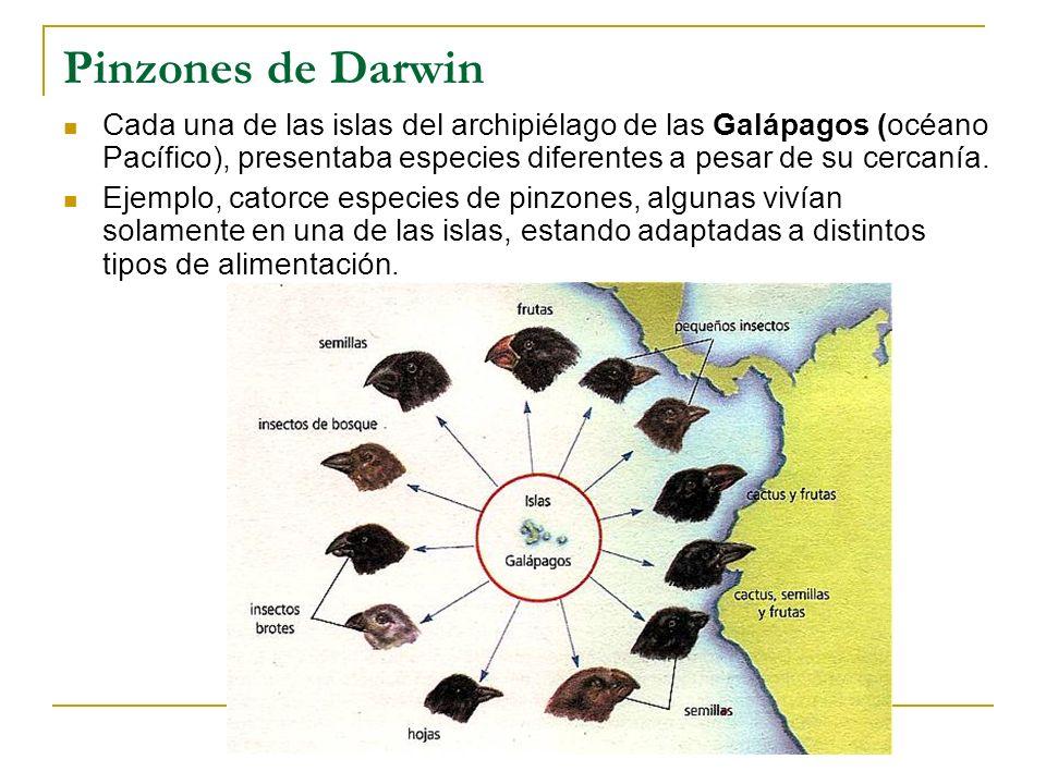 Pinzones de Darwin Cada una de las islas del archipiélago de las Galápagos (océano Pacífico), presentaba especies diferentes a pesar de su cercanía. E