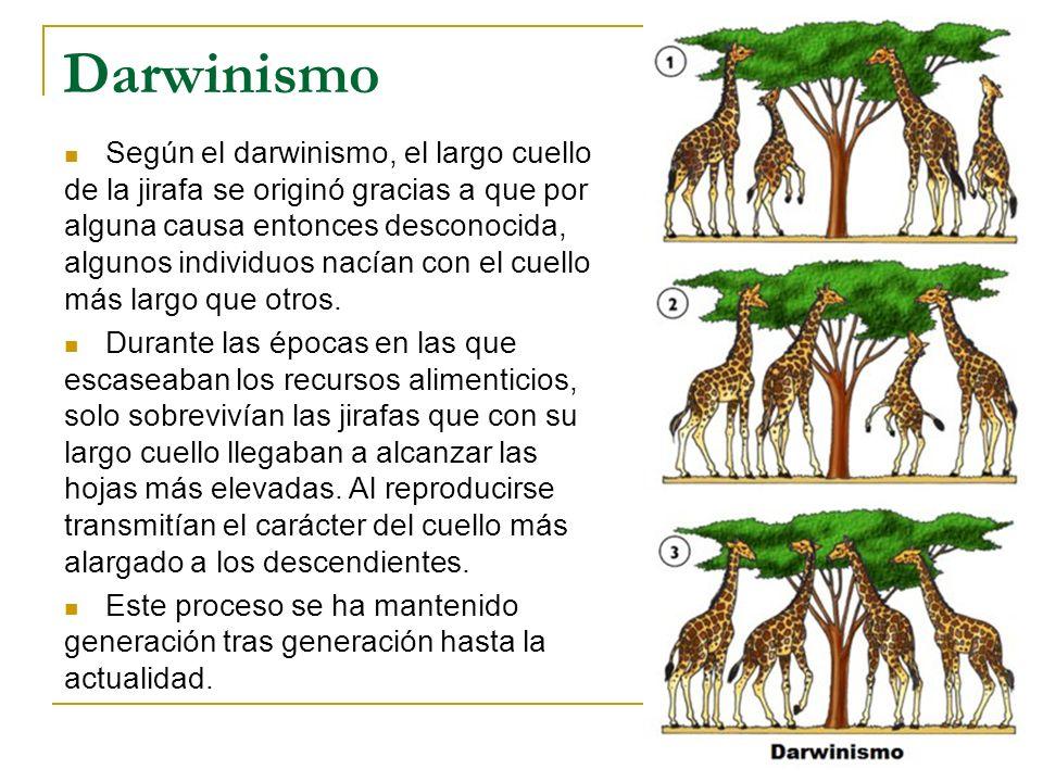 Darwinismo Según el darwinismo, el largo cuello de la jirafa se originó gracias a que por alguna causa entonces desconocida, algunos individuos nacían