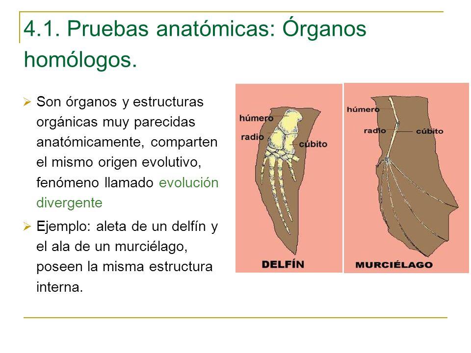 4.1. Pruebas anatómicas: Órganos homólogos. Son órganos y estructuras orgánicas muy parecidas anatómicamente, comparten el mismo origen evolutivo, fen