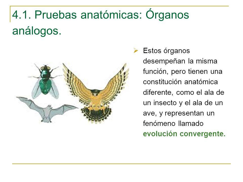4.1. Pruebas anatómicas: Órganos análogos. Estos órganos desempeñan la misma función, pero tienen una constitución anatómica diferente, como el ala de
