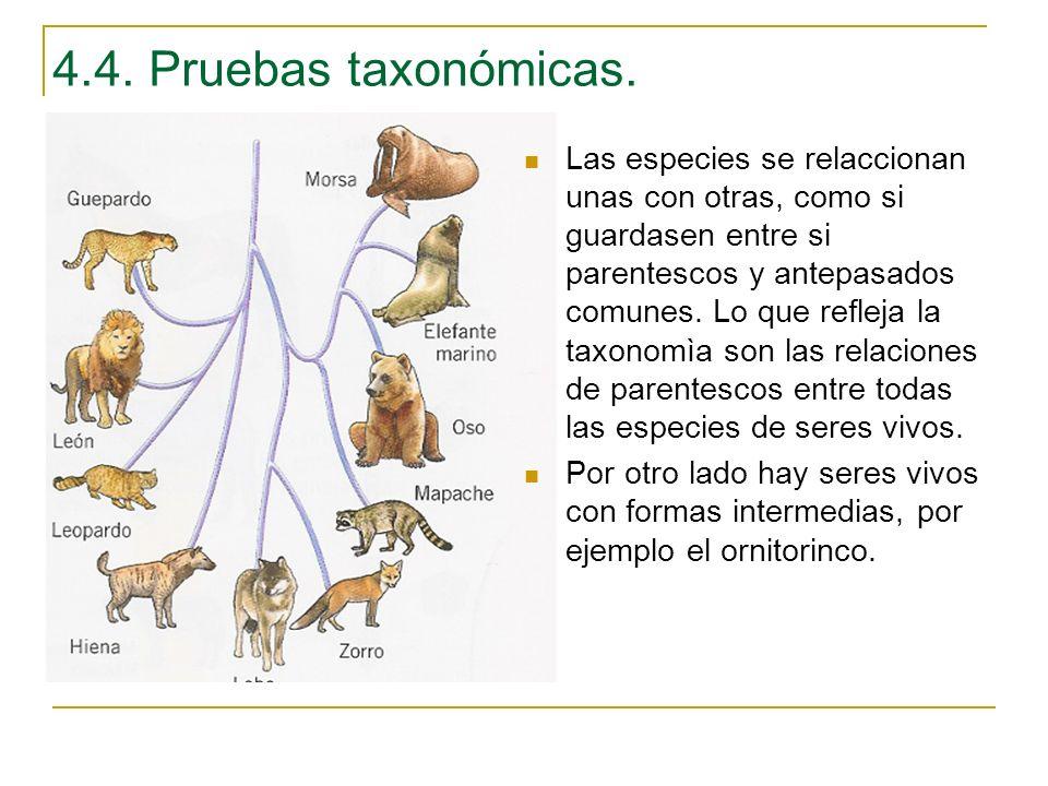 Las especies se relaccionan unas con otras, como si guardasen entre si parentescos y antepasados comunes. Lo que refleja la taxonomìa son las relacion