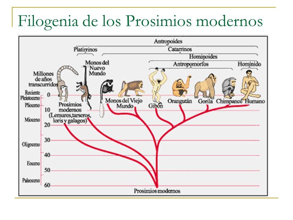 Filogenia de los Prosimios modernos