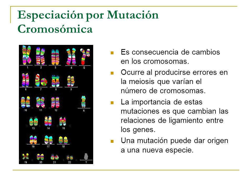 Especiación por Mutación Cromosómica Es consecuencia de cambios en los cromosomas. Ocurre al producirse errores en la meiosis que varían el número de