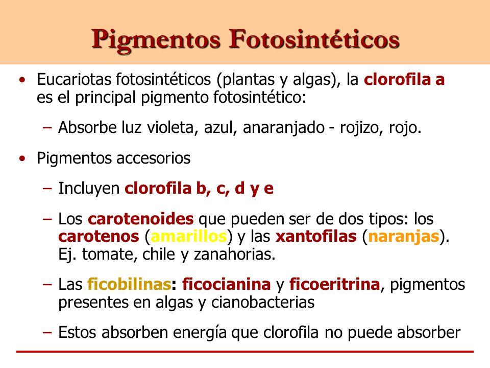 Eucariotas fotosintéticos (plantas y algas), la clorofila a es el principal pigmento fotosintético: –Absorbe luz violeta, azul, anaranjado - rojizo, r
