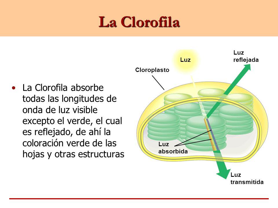 Luz Cloroplasto Luz reflejada Luz absorbida Luz transmitida La Clorofila La Clorofila absorbe todas las longitudes de onda de luz visible excepto el v