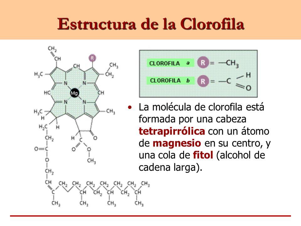 Estructura de la Clorofila La molécula de clorofila está formada por una cabeza tetrapirrólica con un átomo de magnesio en su centro, y una cola de fi