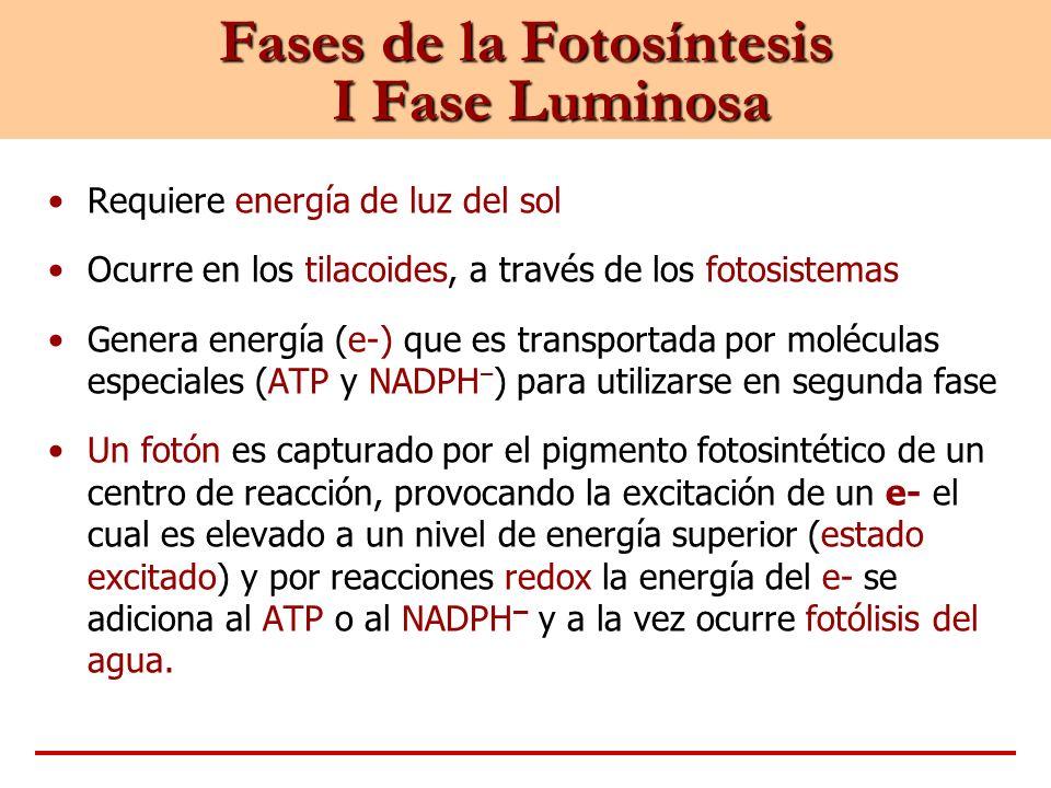 Fases de la Fotosíntesis I Fase Luminosa Requiere energía de luz del sol Ocurre en los tilacoides, a través de los fotosistemas Genera energía (e-) qu