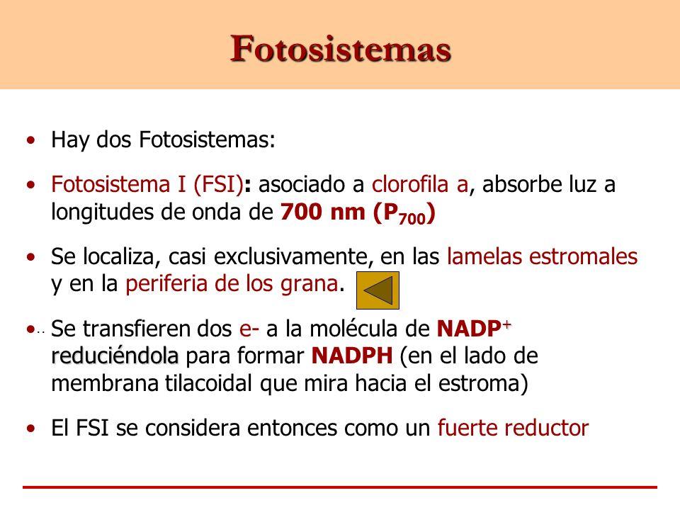 .. Fotosistemas Hay dos Fotosistemas: Fotosistema I (FSI): asociado a clorofila a, absorbe luz a longitudes de onda de 700 nm (P 700 ) Se localiza, ca